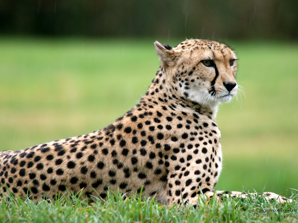 great cheetah wallpapers full hd pictures