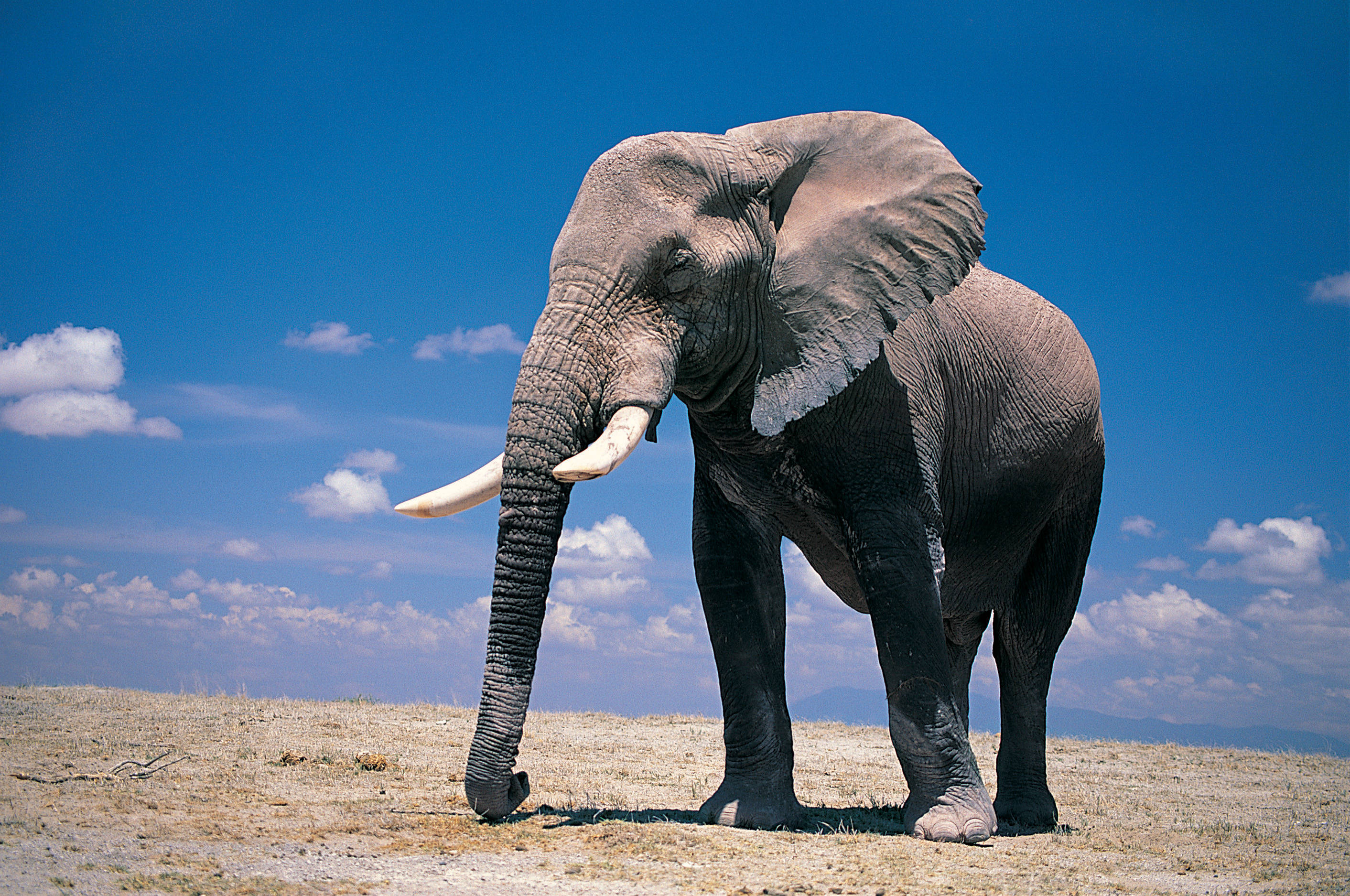 elephant wallpapers full hd pictures