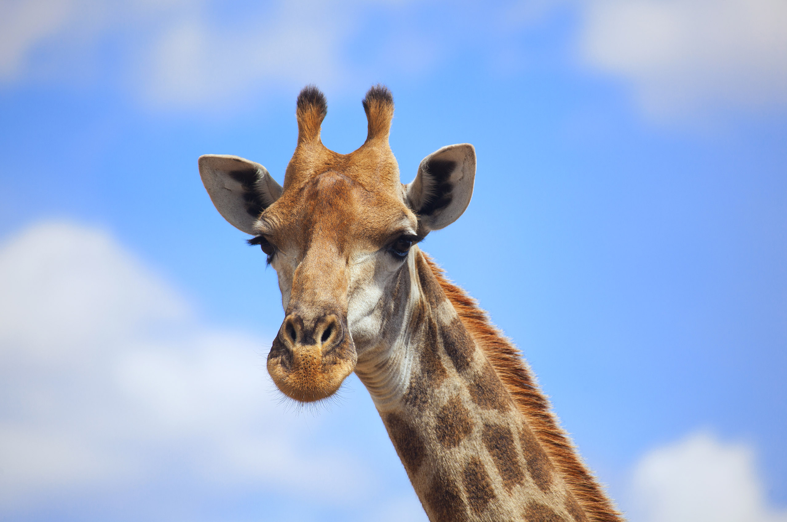 giraffe wallpapers hd pictures - photo #17