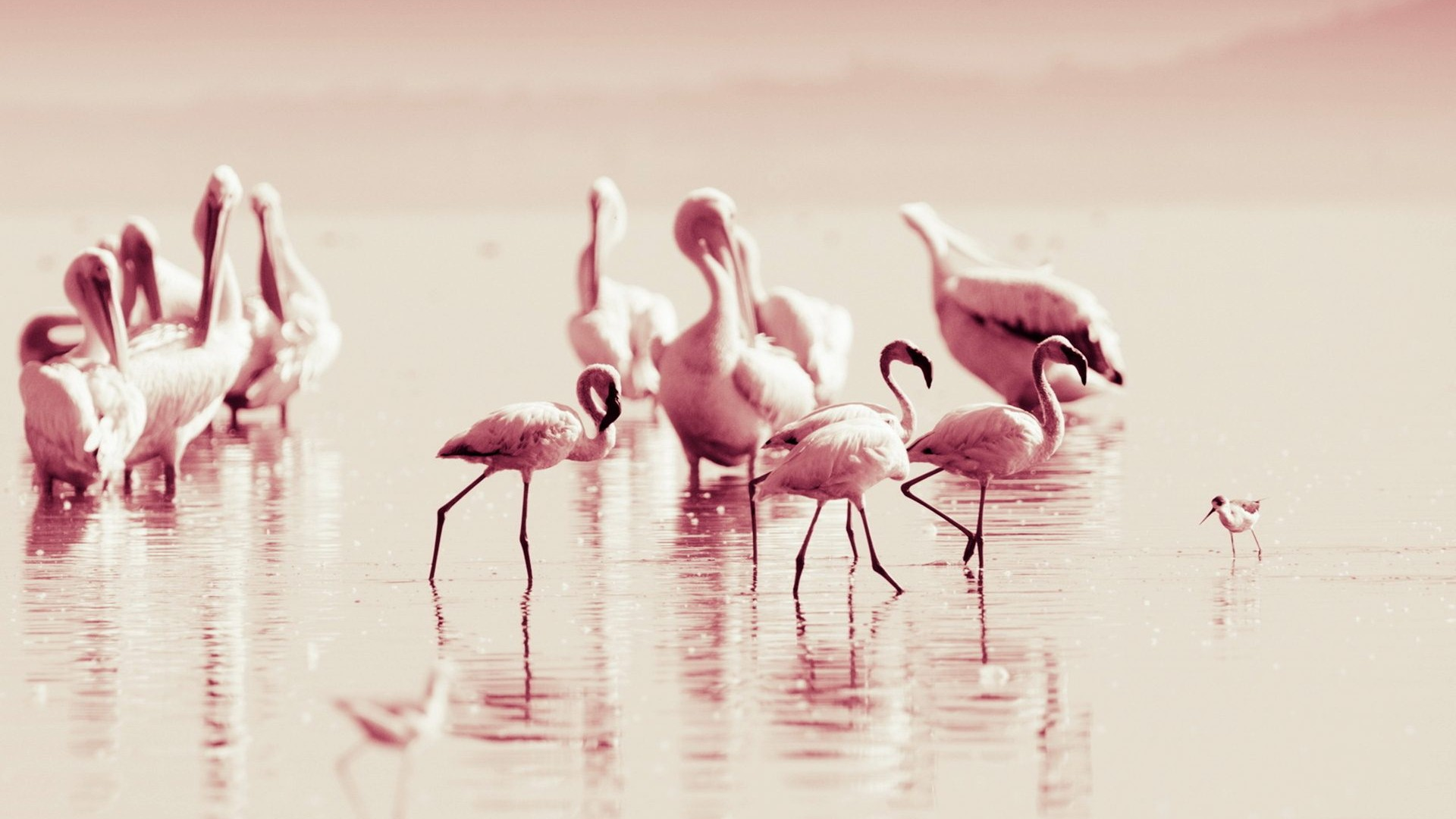 high quality flamingo wallpaper full hd pictures