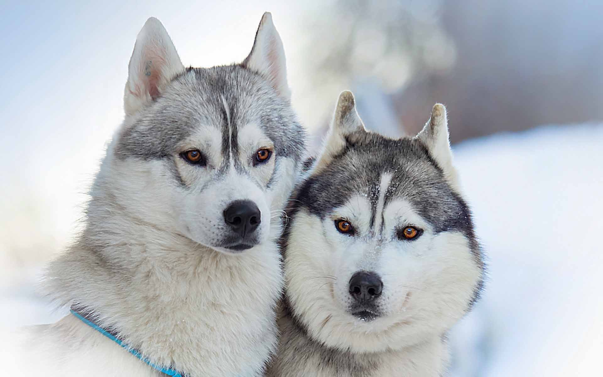 cute husky puppies hd - photo #15