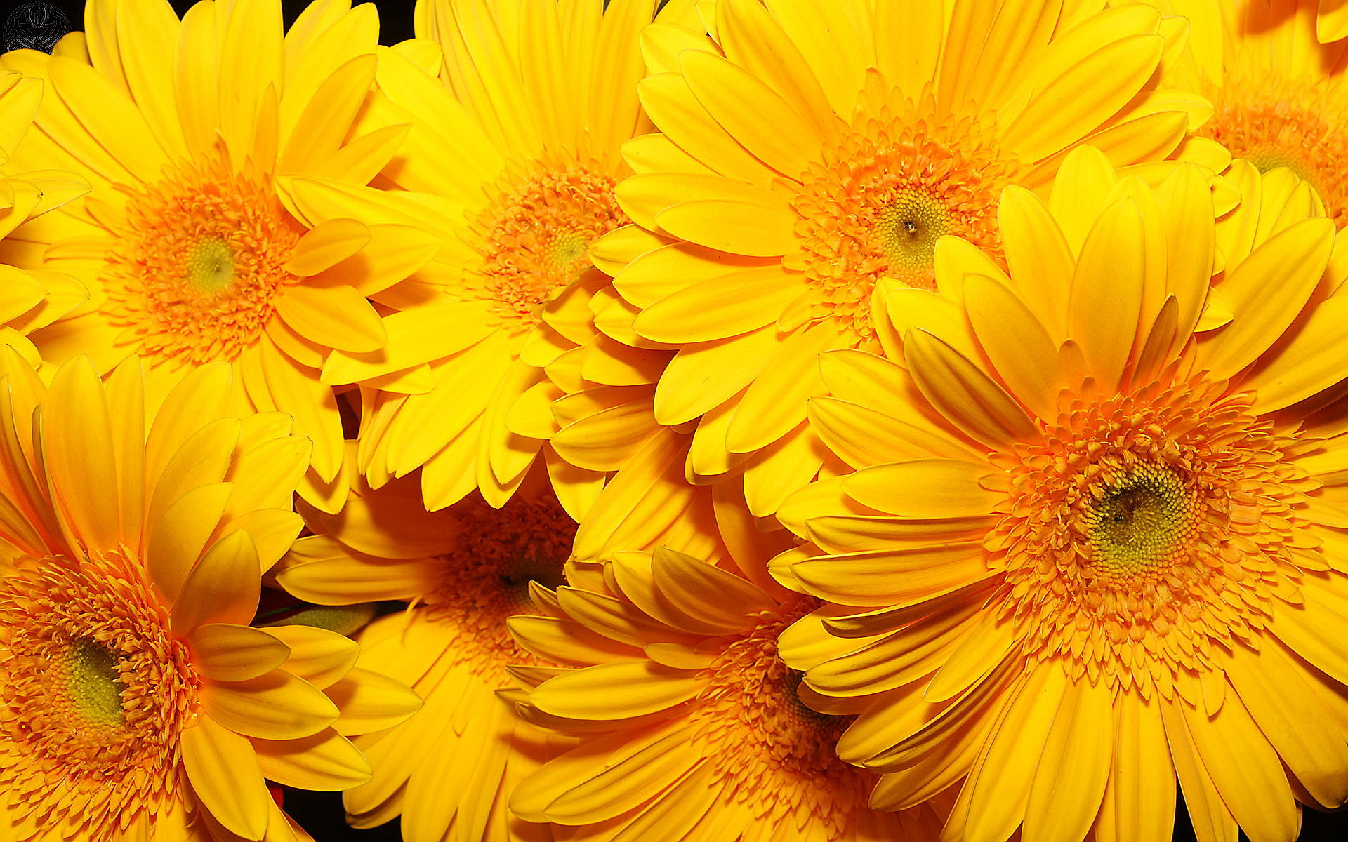 yellow flowers wallpapers pack - photo #10