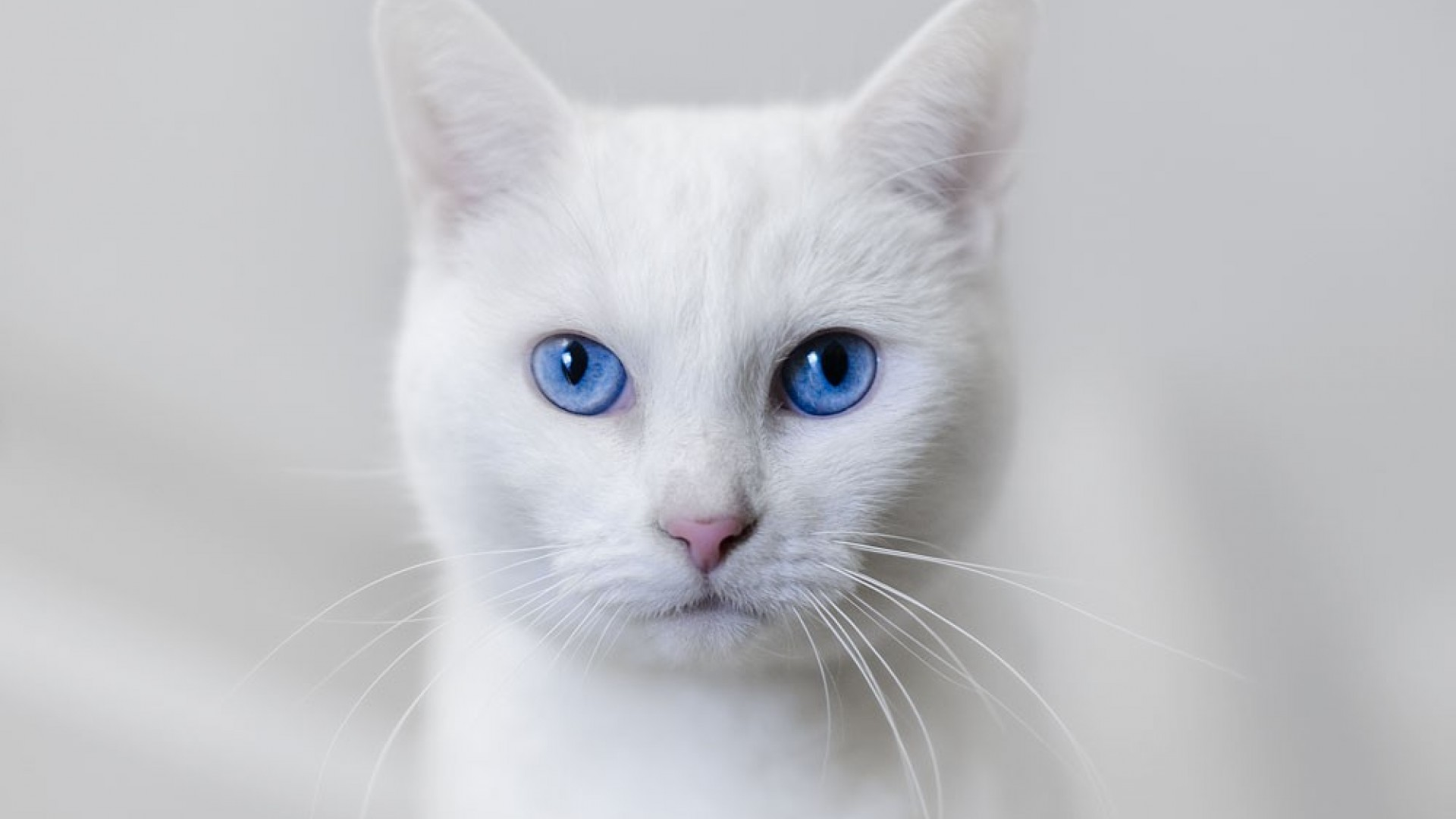 Beautiful White Cat Wallpaper  Full HD Pictures