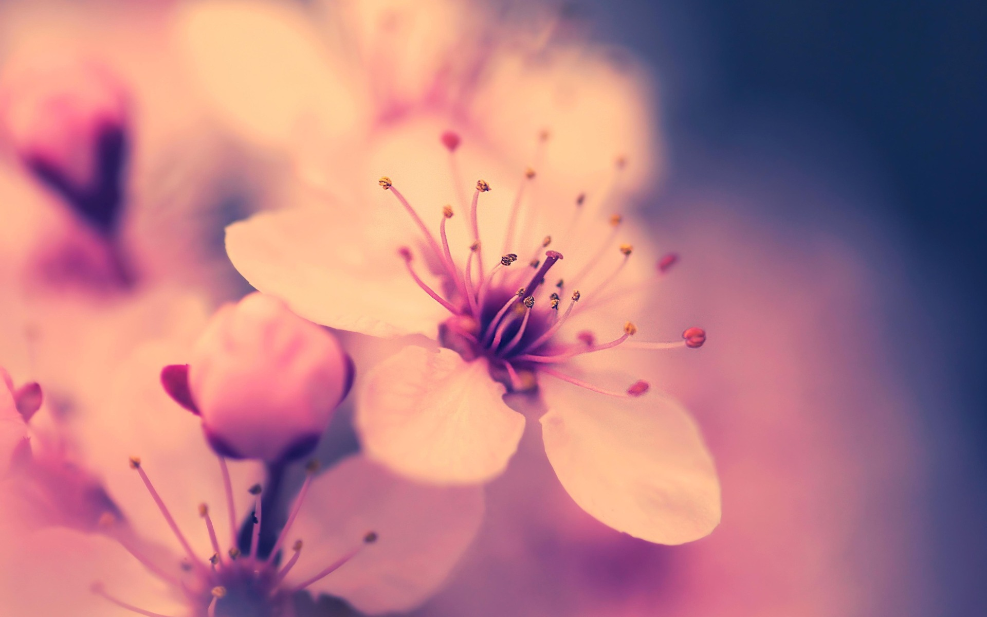 Cherry Blossom Backgrounds | Full HD Pictures