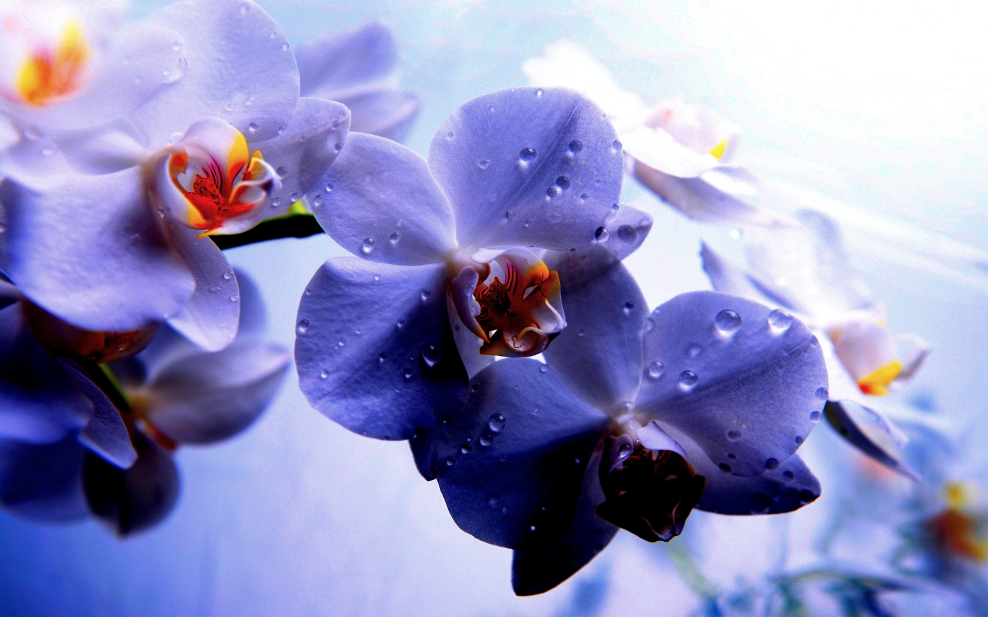 orchid wallpapers backgrounds images - photo #7