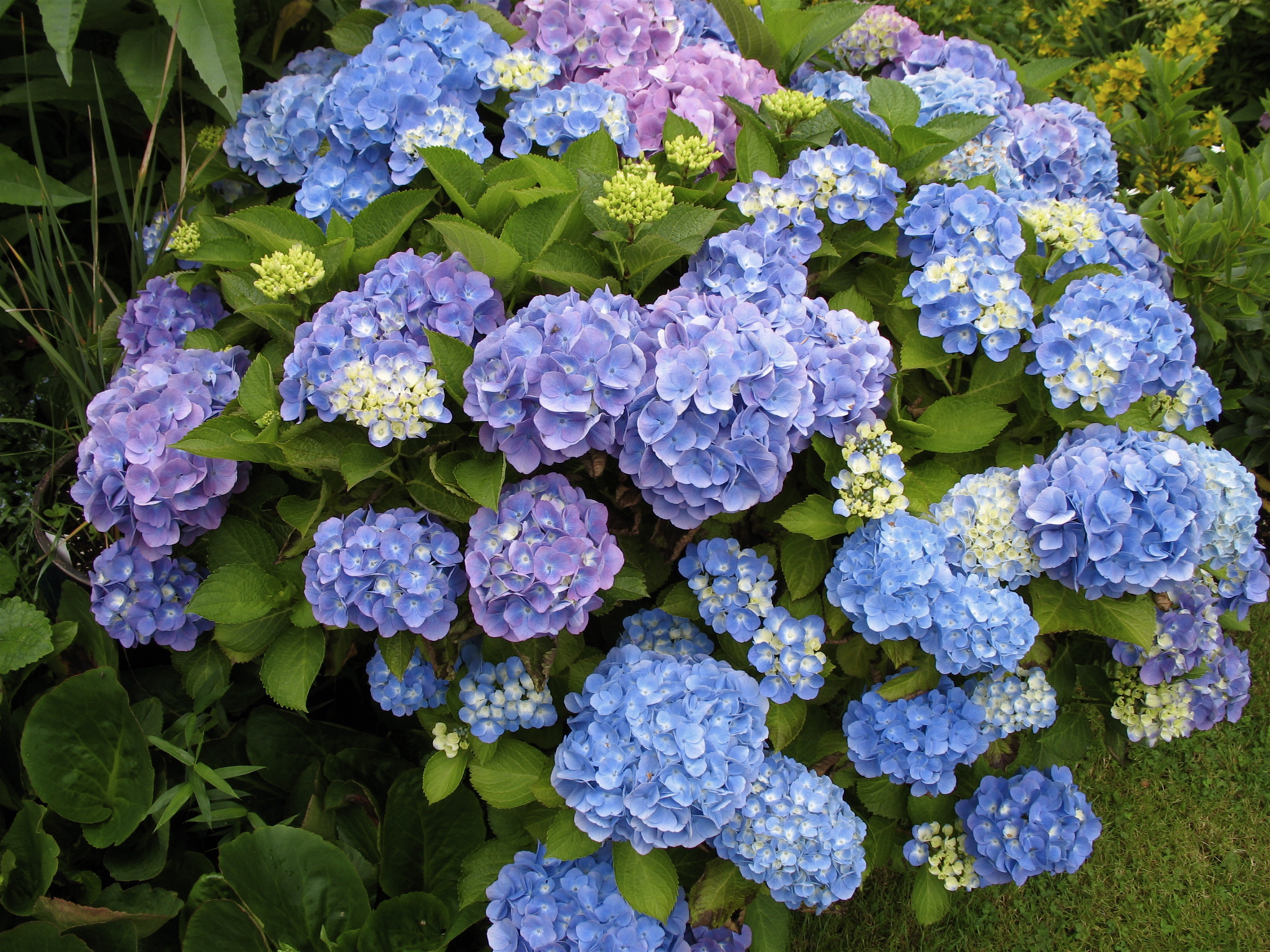 hydrangea backgrounds full hd pictures
