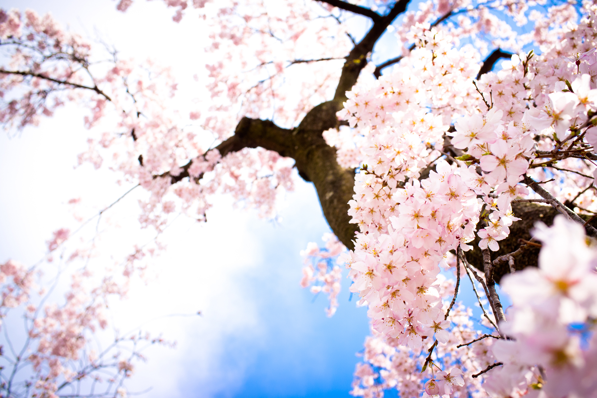 hd cherry blossom backgrounds - photo #15