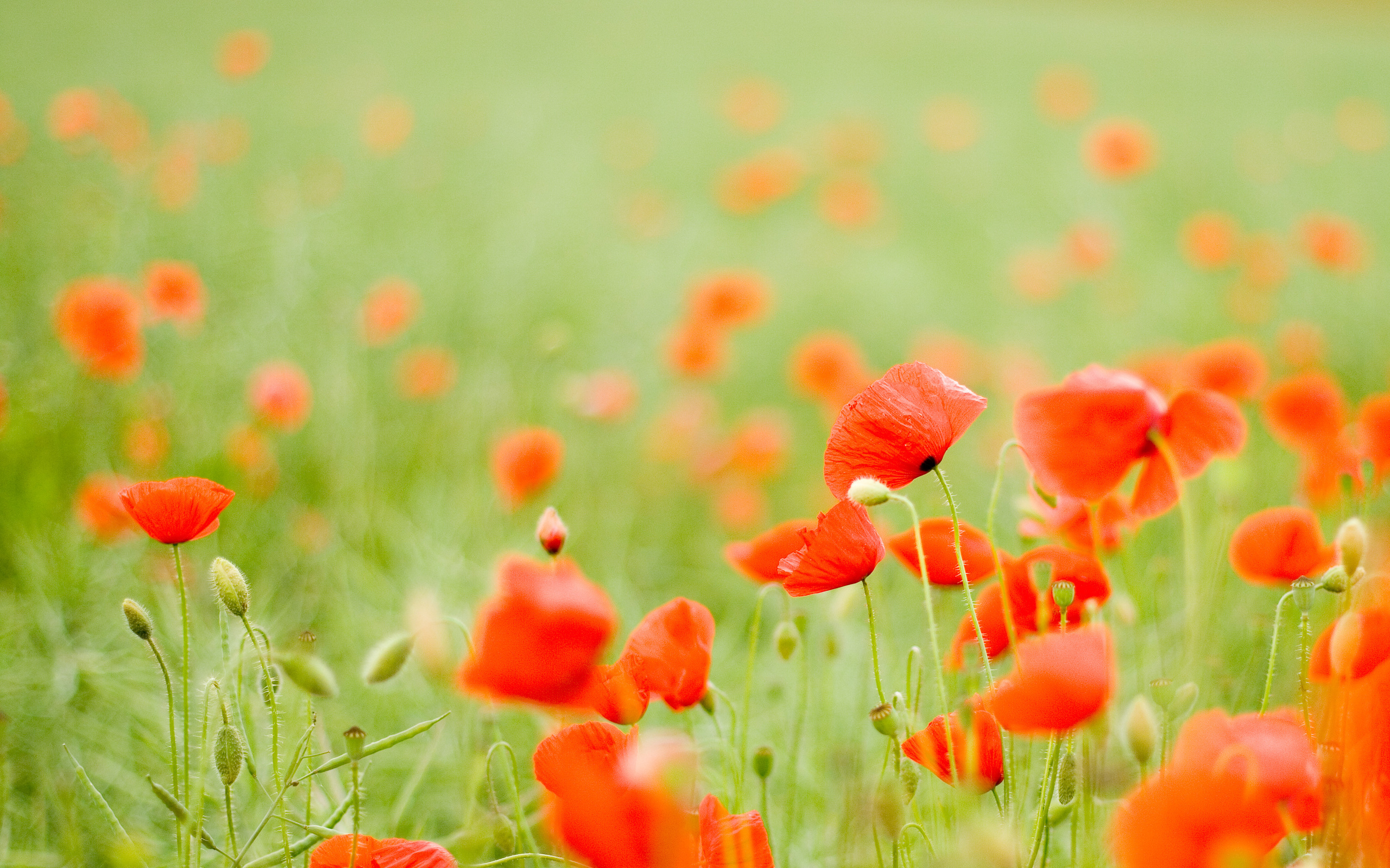 poppies wallpapers 22 hd - photo #1