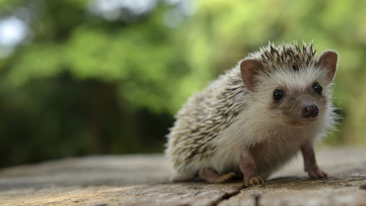 hedgehog hd wallpaper full hd pictures