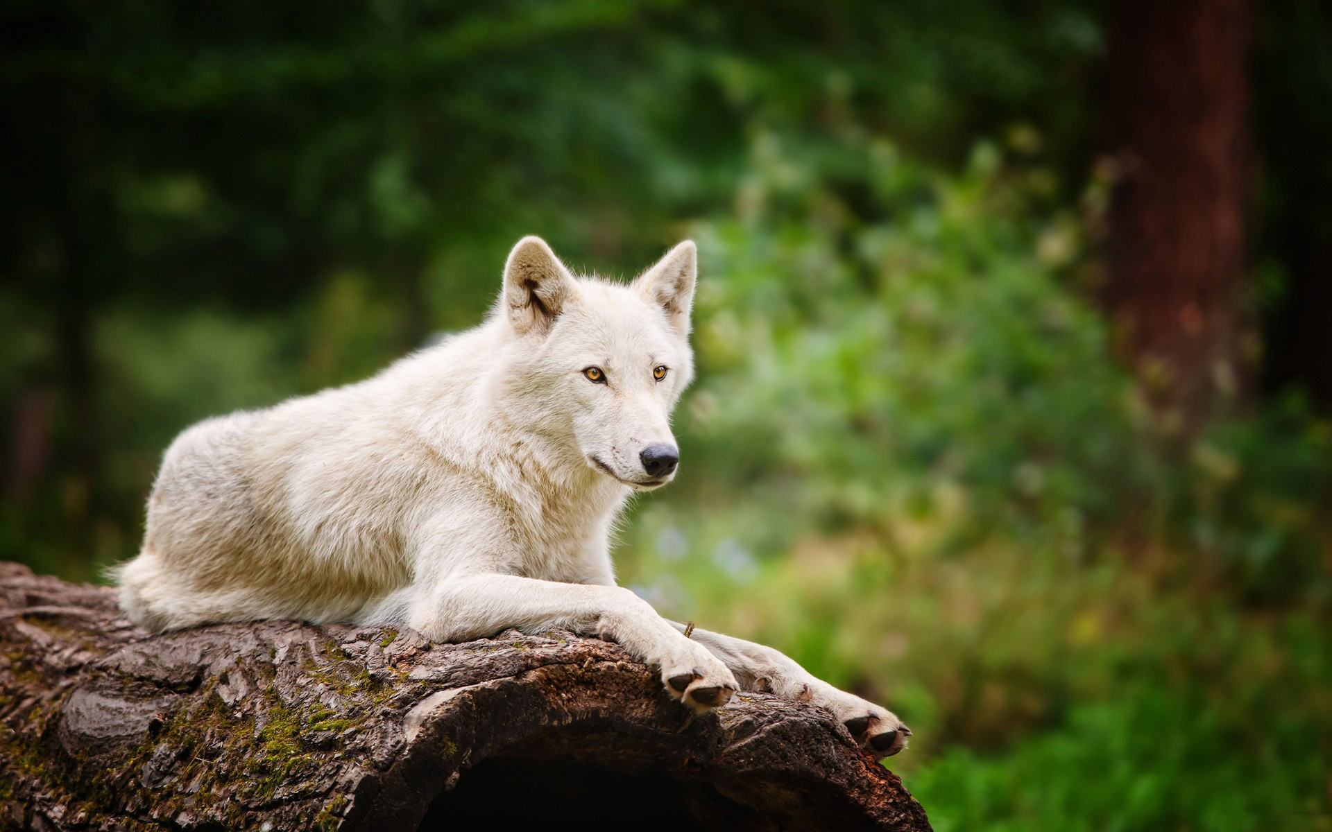 amazing white wolf wallpaper full hd pictures