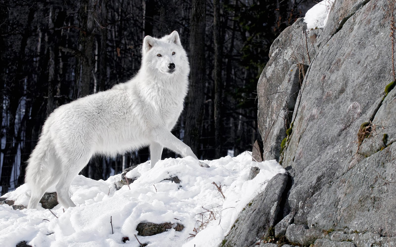beautiful white wolf wallpaper full hd pictures