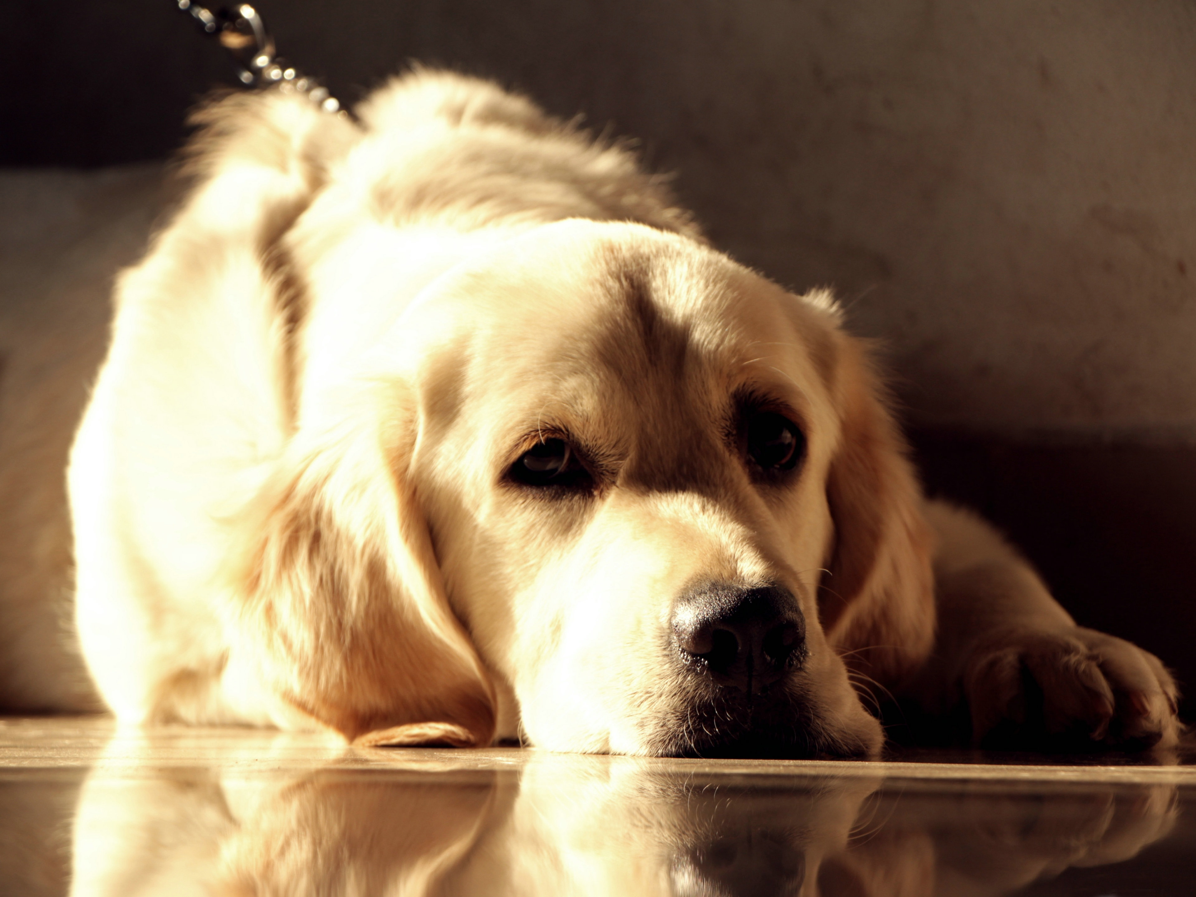 Golden Retriever Wallpaper HD