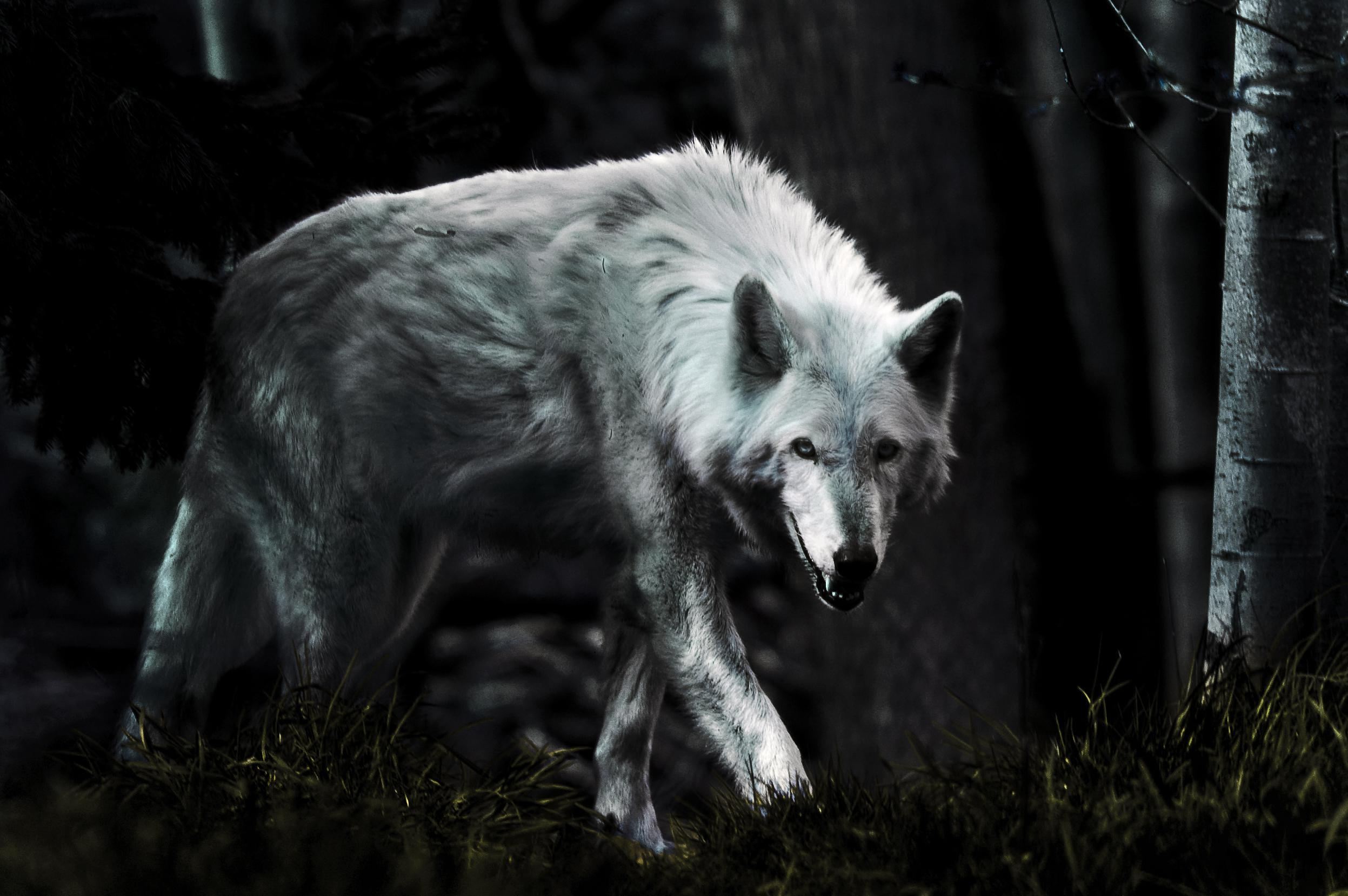 most beautiful white wolf wallpaper full hd pictures