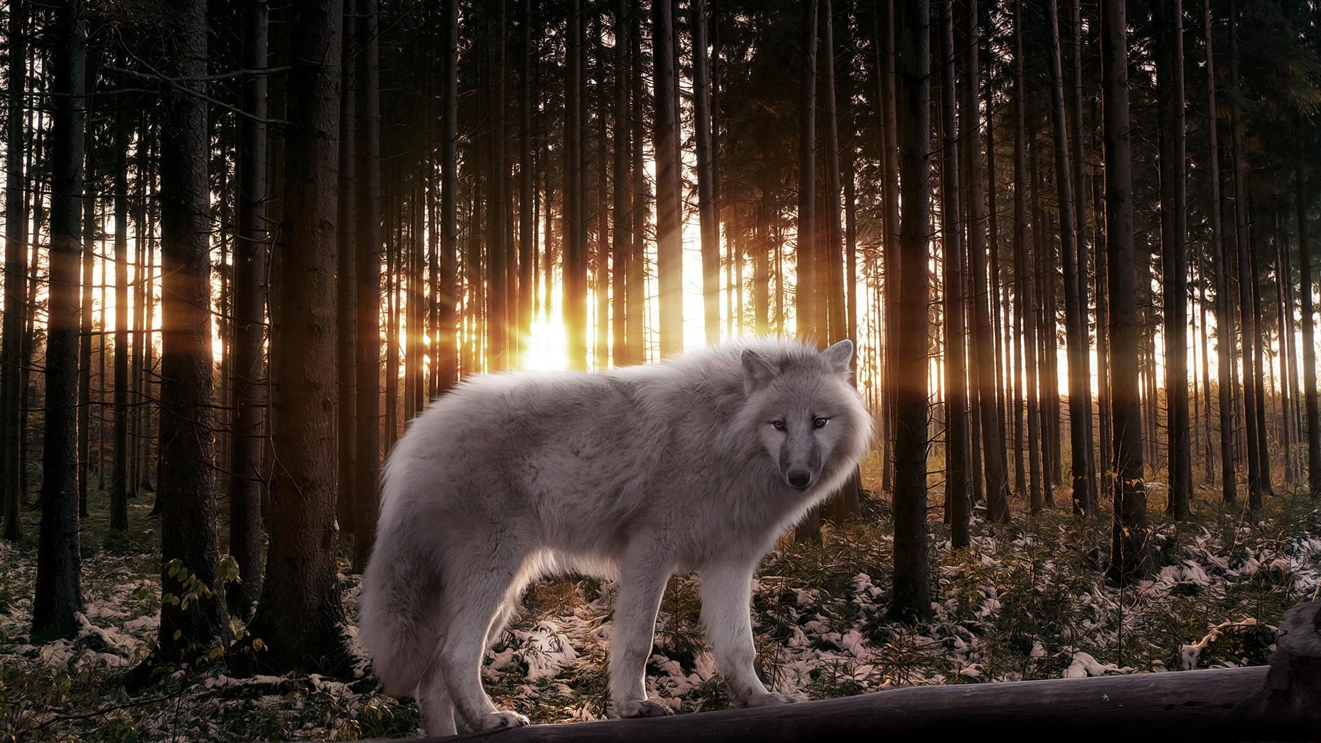 pics photos white wolf pictures hd wallpaper white wolf