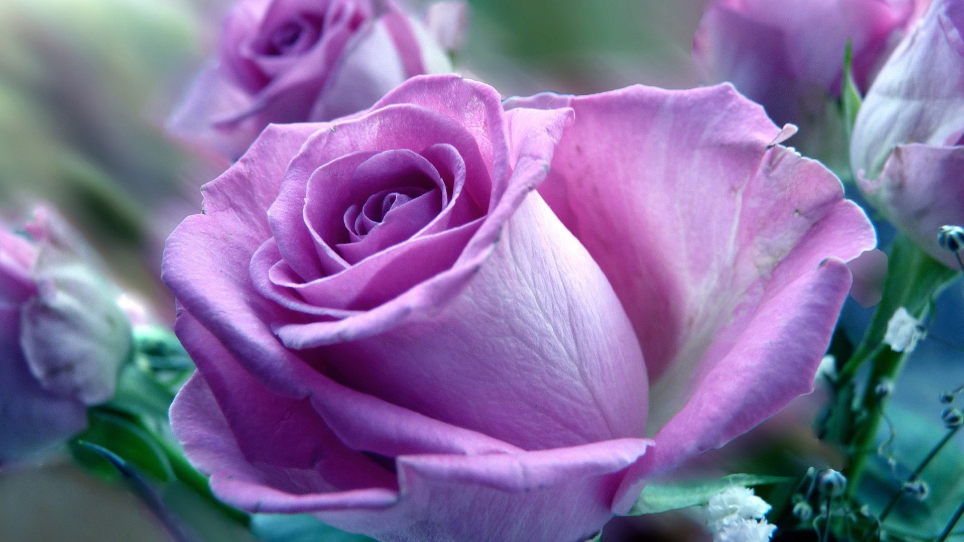 Hd purple rose wallpapers full hd pictures for Purple rose pictures