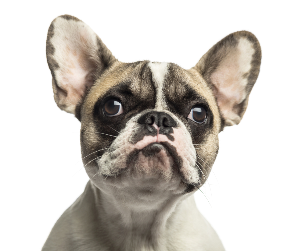French Bulldog Pics Full Hd Pictures