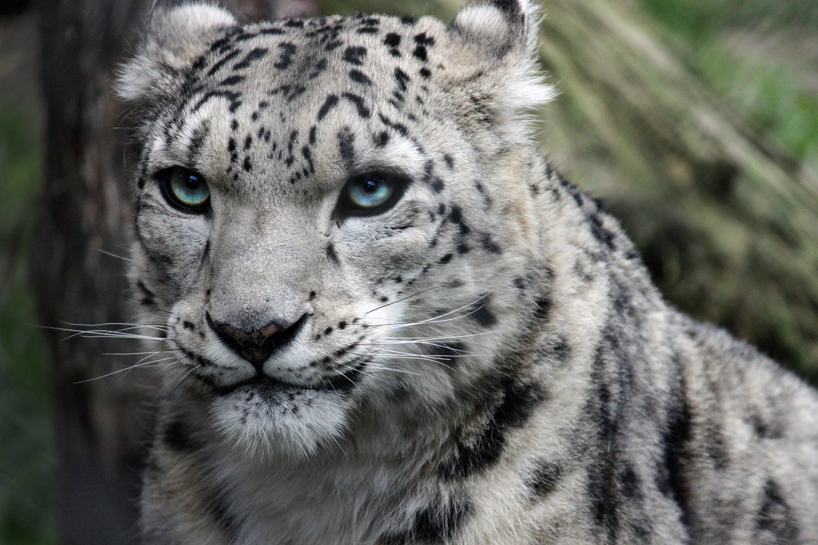 Snow Leopard Full Hd Pictures