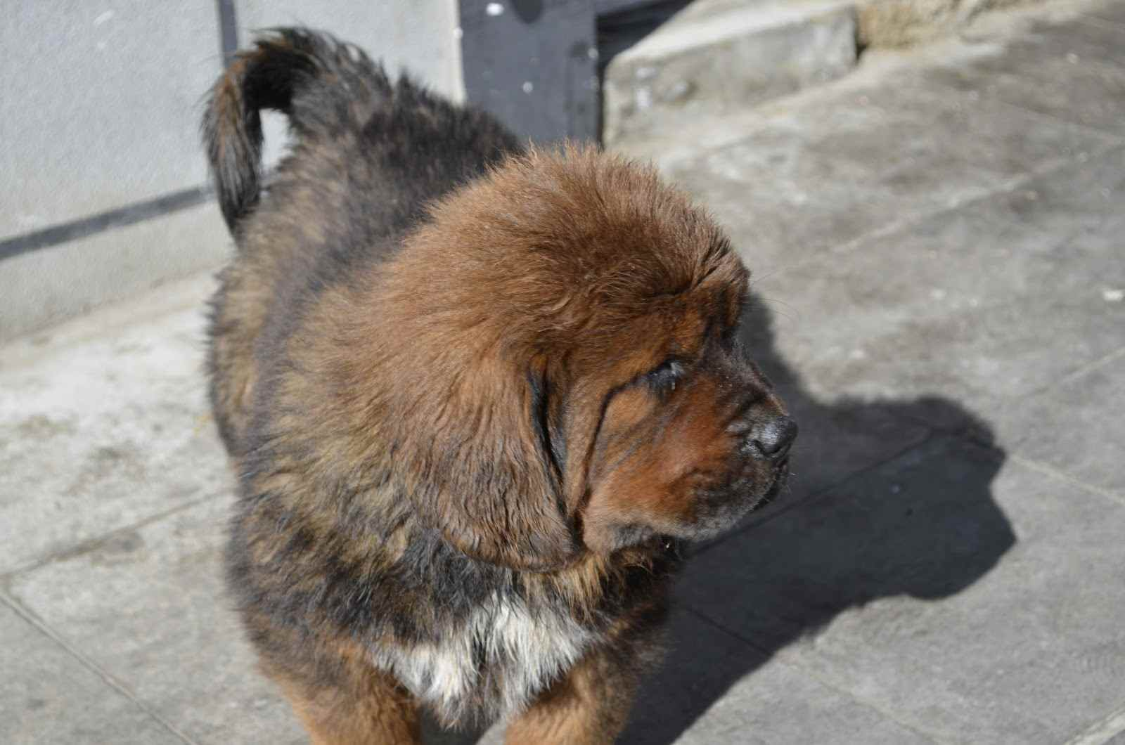 Tibetan Mastiff Pictures Full Hd Pictures