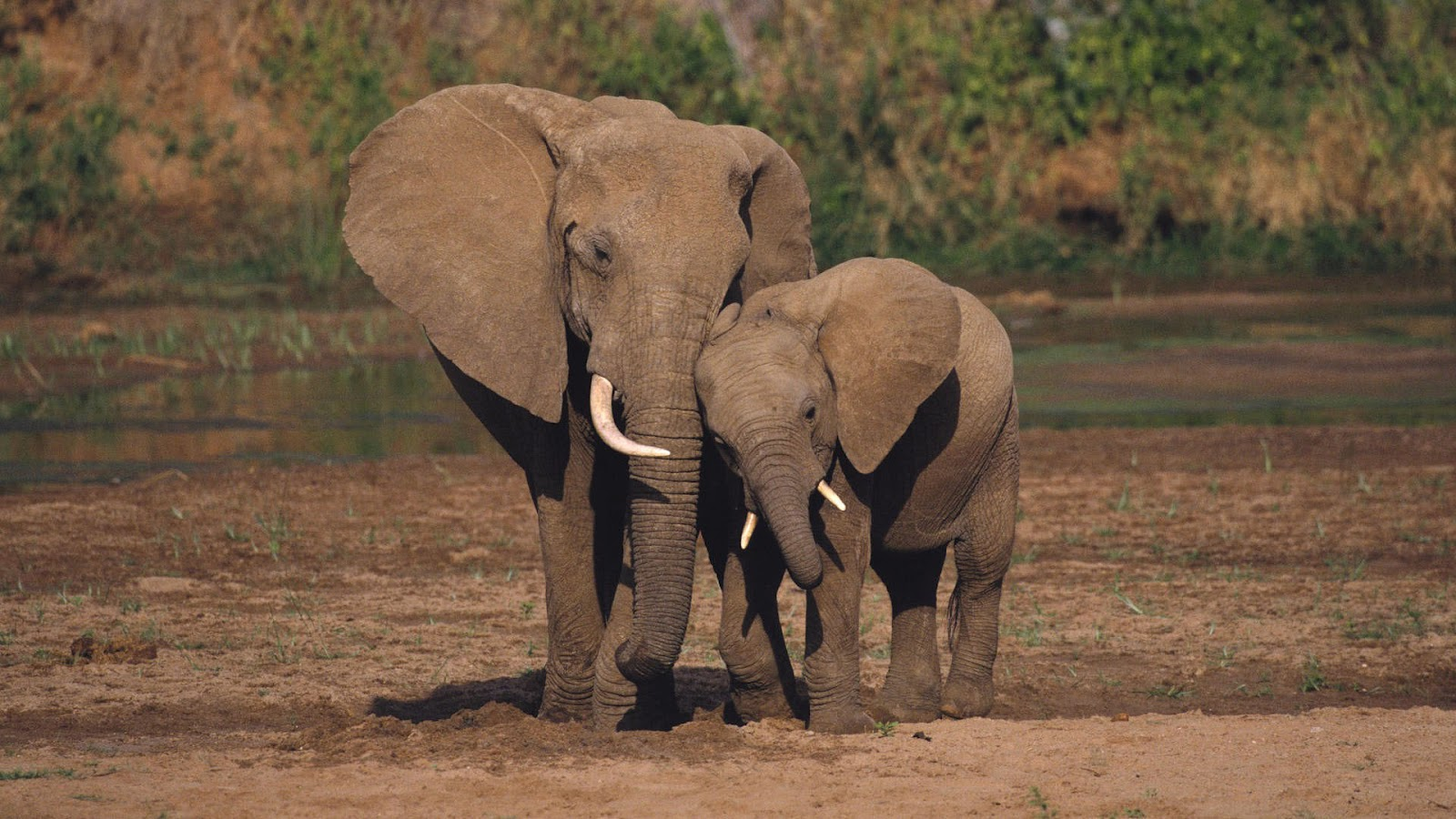 Beautiful Pictures Of Elephant In Hd: Most Beautiful Elephant Wallpaper