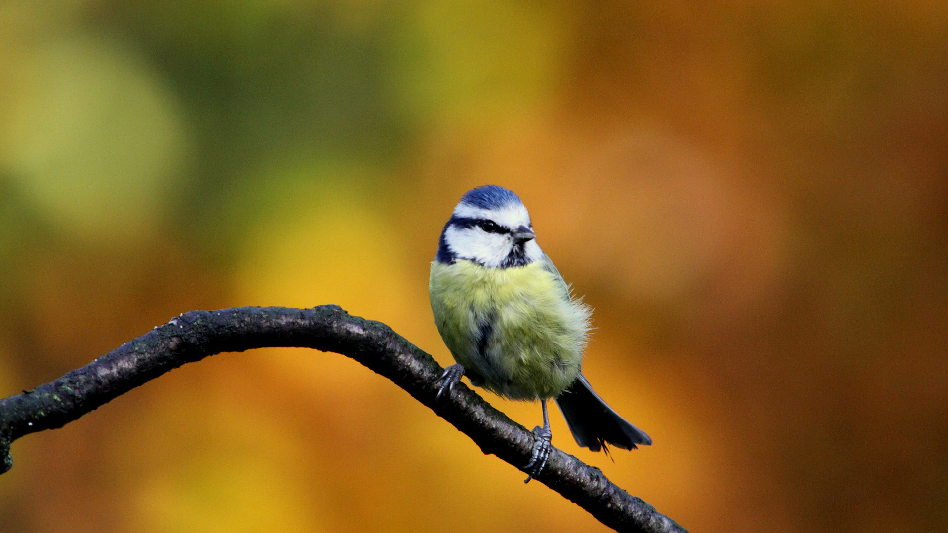 Blue tit hd wallpapers full hd pictures - Animal and bird hd wallpaper ...
