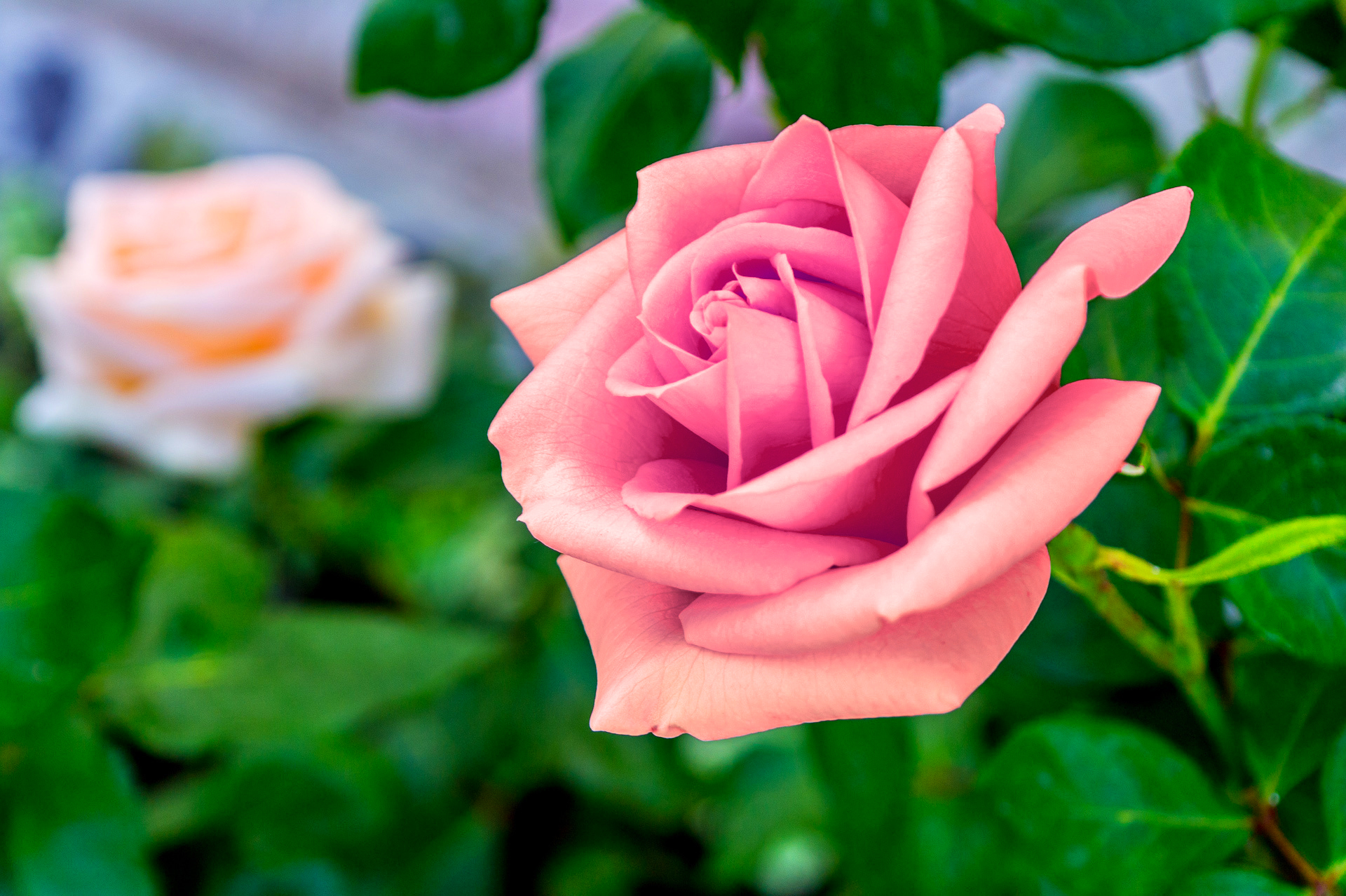 Pink rose full hd pictures - Pink rose hd wallpaper ...