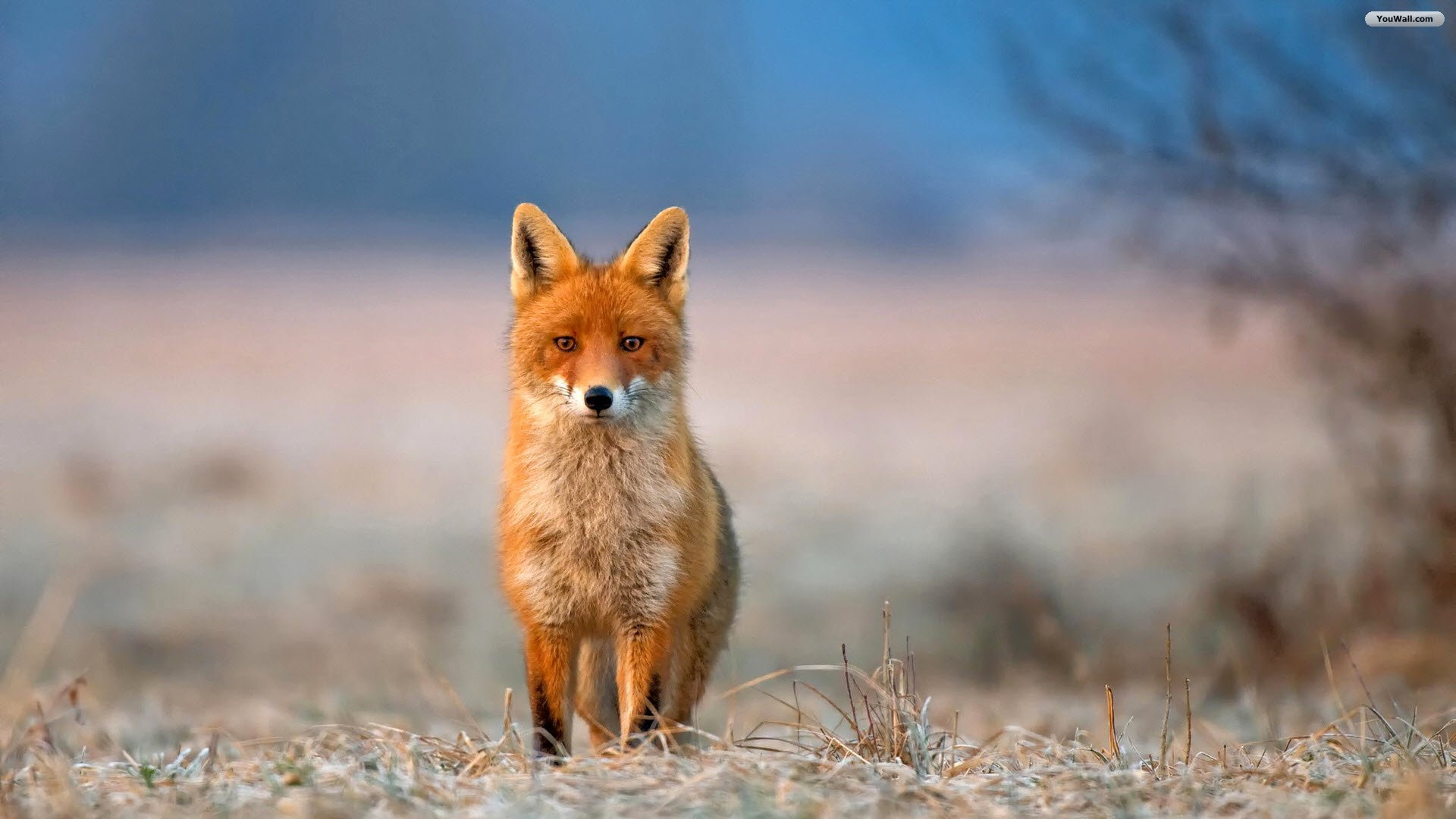 Fox Wallpapers Hd Full Hd Pictures