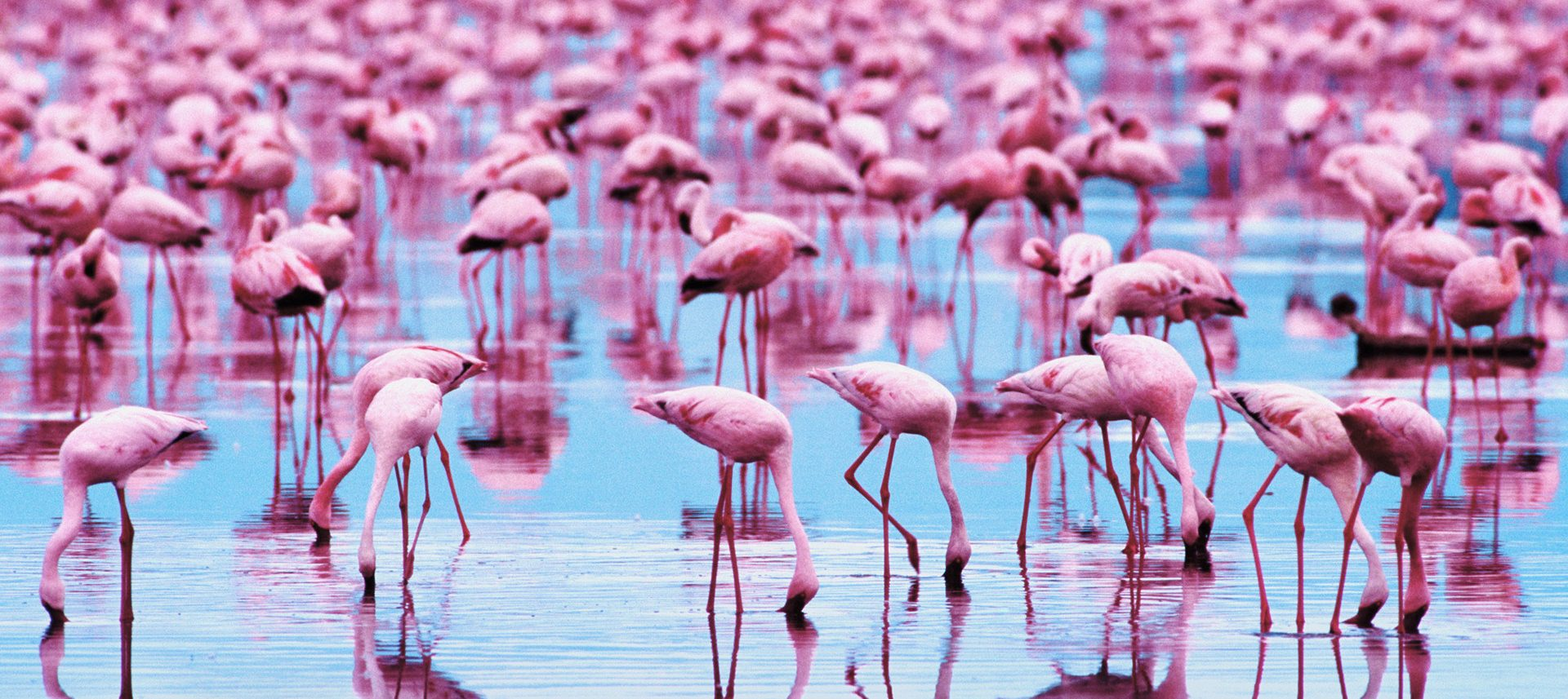 Flamingo Wallpaper Full Hd Pictures