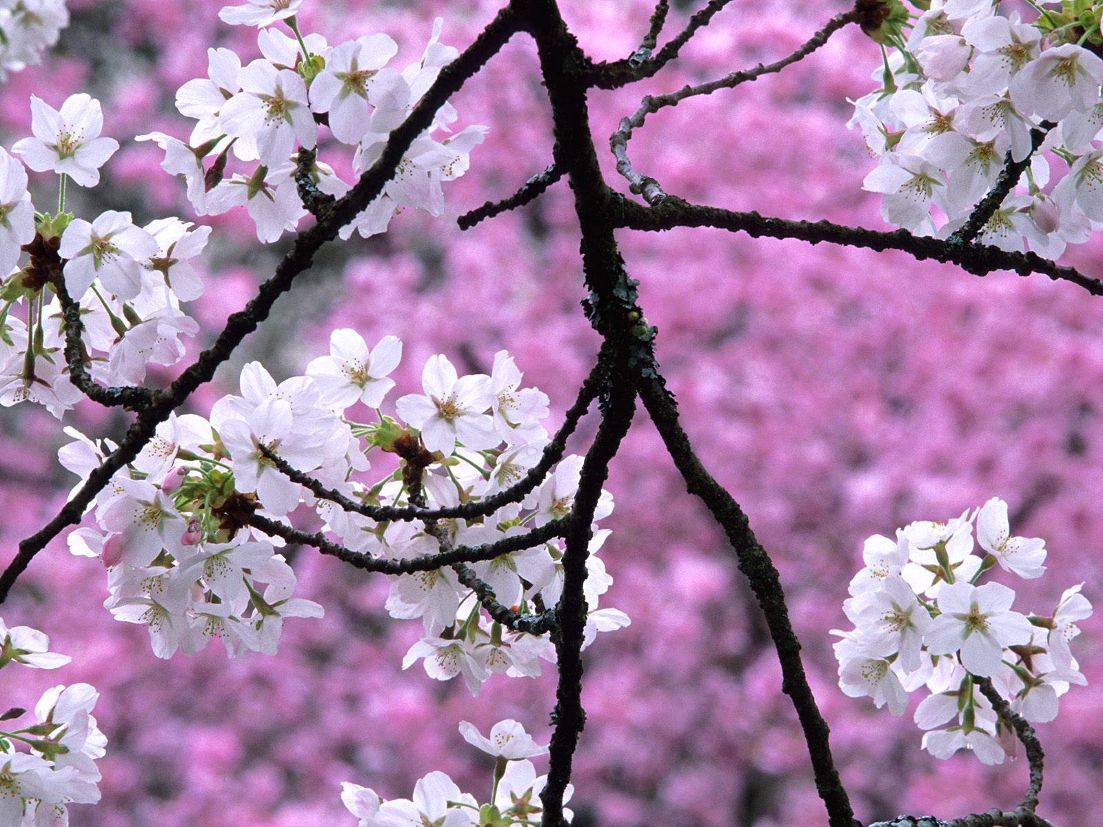Gorgeous Cherry Blossom Wallpaper | Full HD Pictures