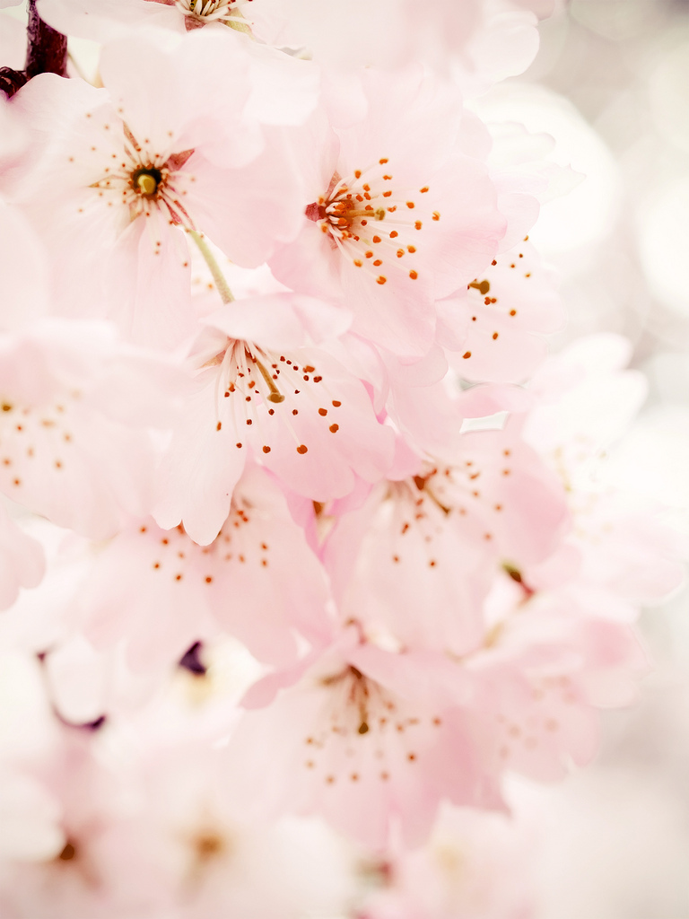 Mobile Cherry Blossom Wallpaper | Full HD Pictures
