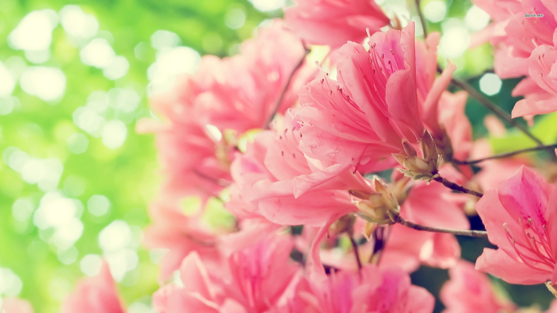 beautiful peach flowers wallpaper full hd pictures