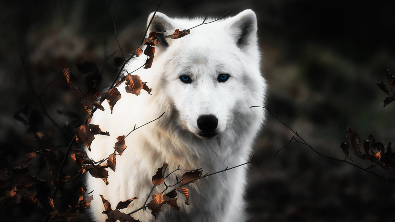 White Wolf Wallpapers | Full HD Pictures