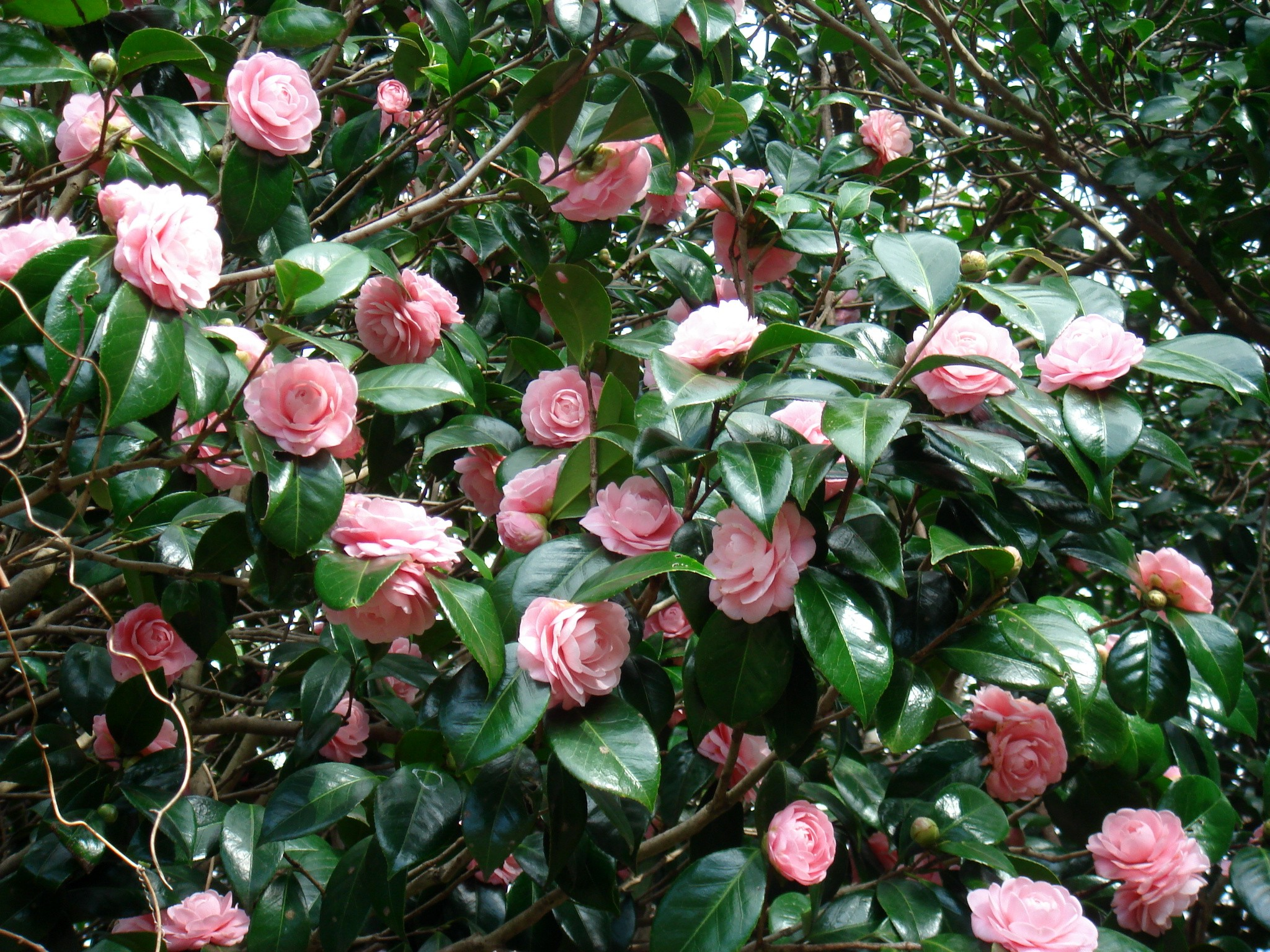 Camellia japonica backgrounds full hd pictures - Camelia planta ...
