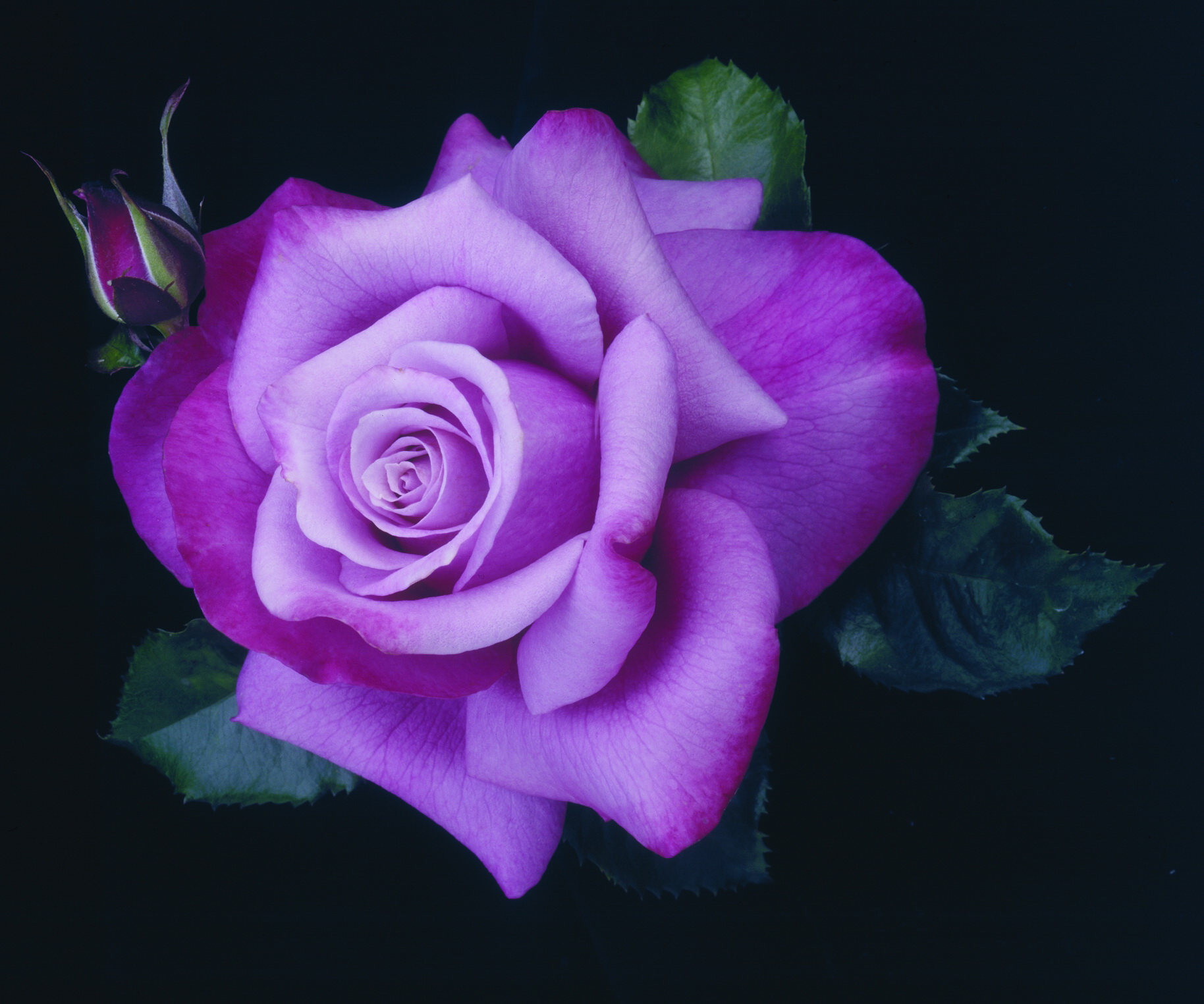 Mobile Purple Rose Wallpaper   Full HD Pictures