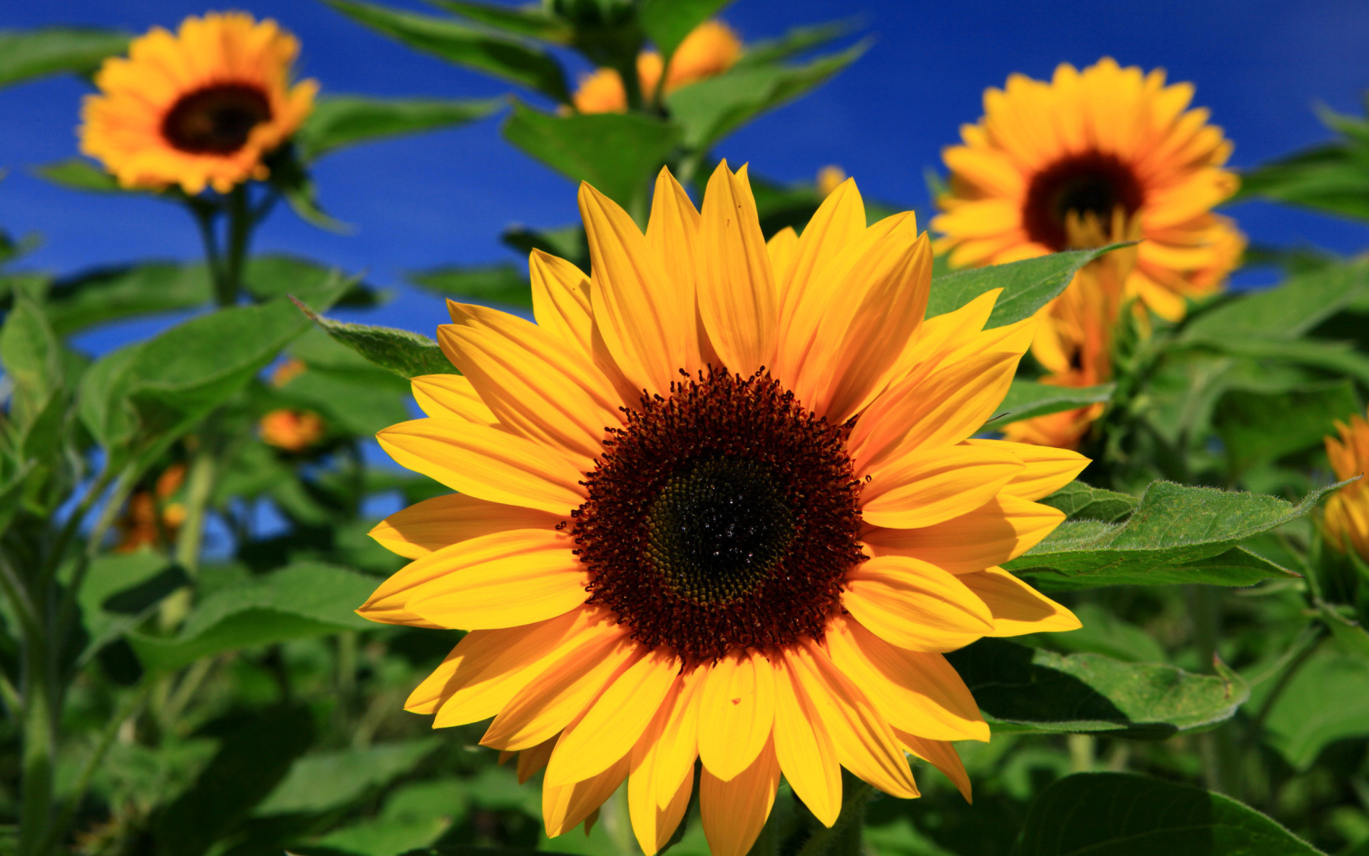 sunflower pictures full hd pictures